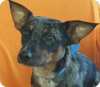 Cattle Dog Mix Dog for adoption in Akron, Ohio - Pho