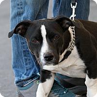 Adopt A Pet :: Cowboy - Palmdale, CA