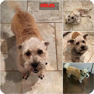 Standard Schnauzer/Yorkie, Yorkshire Terrier Mix Dog for adoption in Lindale, Texas - Miles