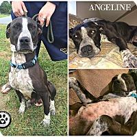 Adopt A Pet :: Angeline - Kimberton, PA