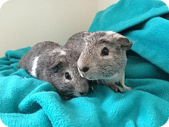Guinea Pig for adoption in Pine Bush, New York - Mickey and Marlon