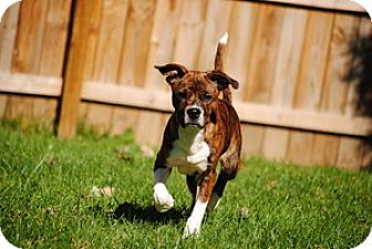 Pit Bull Terrier Mix Puppy for adoption in Indianapolis, Indiana - Brewster
