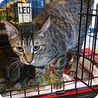 Adopt A Pet :: Lulu - Fischer, TX