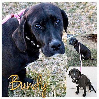 Labrador Retriever/Great Dane Mix Puppy for adoption in Garden City, Michigan - Bundy