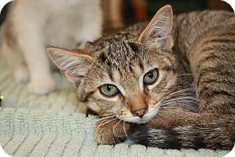 Domestic Shorthair Kitten for adoption in Little Falls, New Jersey - Filly (PP)