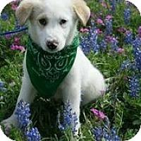 Adopt A Pet :: Salinger - Austin, TX