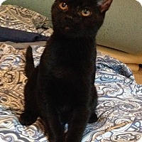 Adopt A Pet :: Sergeant - Merrifield, VA