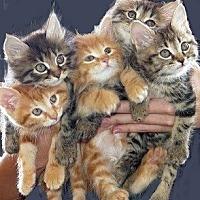 Adopt A Pet :: Kittens !!! - Huntsville, AL