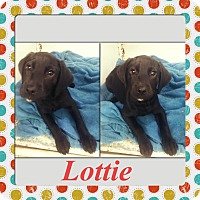 Adopt A Pet :: Lottie Adoption pending - East Hartford, CT