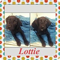 Adopt A Pet :: Lottie Adoption pending - Manchester, CT