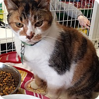 Calico Cat for adoption in Fallston, Maryland - Callie