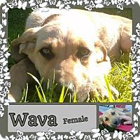 Adopt A Pet :: Wava meet me 4/1 - Manchester, CT