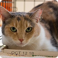 Domestic Shorthair Cat for adoption in New York, New York - Nila