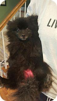 Pomeranian Mix Dog for adoption in Alpharetta, Georgia - Suzie