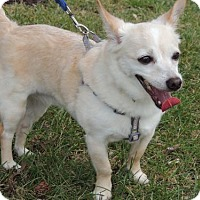 Chihuahua Dog for adoption in Franklin, Tennessee - CHLOE CHI