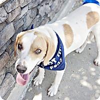 Adopt A Pet :: Banjo - Youngsville, NC