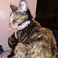 Domestic Shorthair Cat for adoption in Petersburg, Virginia - Andrea