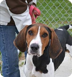 Coonhound (Unknown Type) Mix Dog for adoption in Delaware, Ohio - Hunter