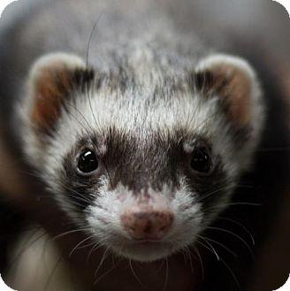 Ferret for adoption in Balch Springs, Texas - Moe