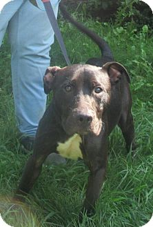 Pit Bull Terrier Dog for adoption in Elkins, West Virginia - Lucian