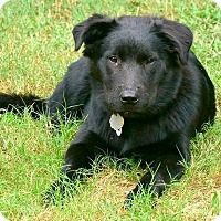 Chow Chow/Labrador Retriever Mix Puppy for adoption in McDonough, Georgia - Piper