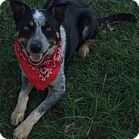 Adopt A Pet :: Chase - Texico, IL