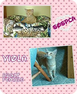 Domestic Shorthair Cat for adoption in Zanesville, Ohio - Viola