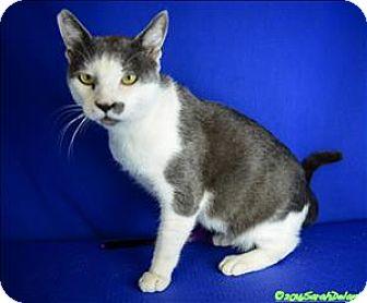 Domestic Shorthair Cat for adoption in Sherwood, Oregon - Charlie