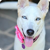 Shepherd (Unknown Type)/Husky Mix Dog for adoption in Matthews, North Carolina - Flurry
