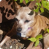 Chihuahua Dog for adoption in Vacaville, California - Jethro