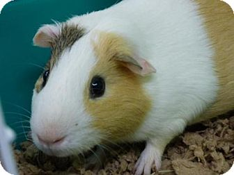 Guinea Pig for adoption in Millersville, Maryland - Patches