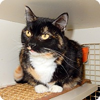 Domestic Shorthair Cat for adoption in St. Charles, Missouri - Jubilee   at PETCO ST PETERS