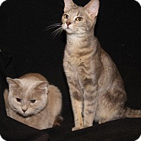 Adopt A Pet :: Luna & Violet - Orland Park, IL