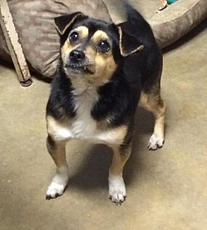 Chihuahua Mix Dog for adoption in Magnolia, Arkansas - Sergio