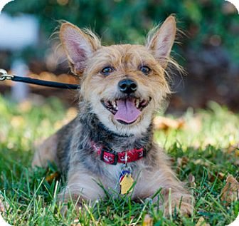 Yorkie, Yorkshire Terrier Mix Dog for adoption in Fremont, California - Taylor D4110