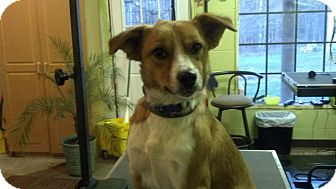Sheltie, Shetland Sheepdog Mix Dog for adoption in Brattleboro, Vermont - Bella (Reduced to $300)