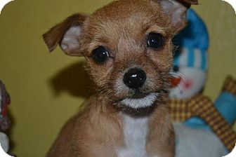 Terrier (Unknown Type, Small)/Chihuahua Mix Puppy for adoption in San Diego, California - Cinnamon