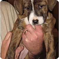 Adopt A Pet :: Candy - CHESTERFIELD, MI