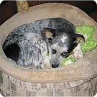 Adopt A Pet :: Mojo ADOPTION PENDING - Phoenix, AZ