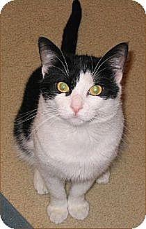 Domestic Shorthair Cat for adoption in San Antonio, Texas - B.W.