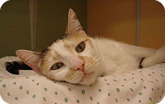 Calico Cat for adoption in Grayslake, Illinois - Emma Mae