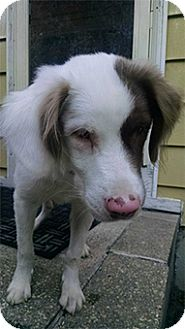 Australian Shepherd Mix Dog for adoption in Seymour, Connecticut - Olaf: ADOPTED!