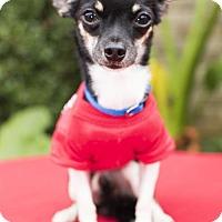 Adopt A Pet :: Tiny Teapot--Precious Tiny boy-S - Alvin, TX