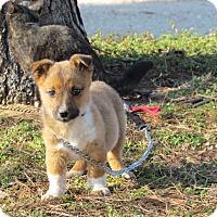 Adopt A Pet :: PISTOL - Hartford, CT