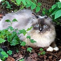 Adopt A Pet :: Gertrude (& Alice) - Herndon, VA