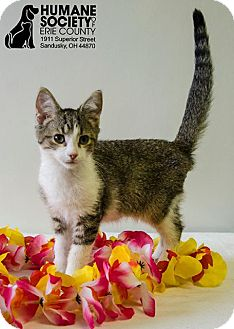 Domestic Shorthair Cat for adoption in Sandusky, Ohio - TIKI