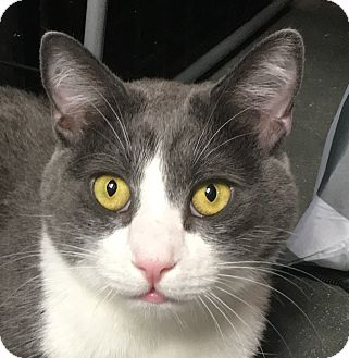 Domestic Shorthair Cat for adoption in Winchester, California - Cora