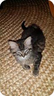 Domestic Longhair Kitten for adoption in Pittsburgh, Pennsylvania - Owen