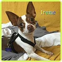 Adopt A Pet :: Irene - Hollywood, FL