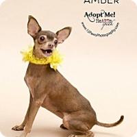 Adopt A Pet :: Amber - Mesa, AZ